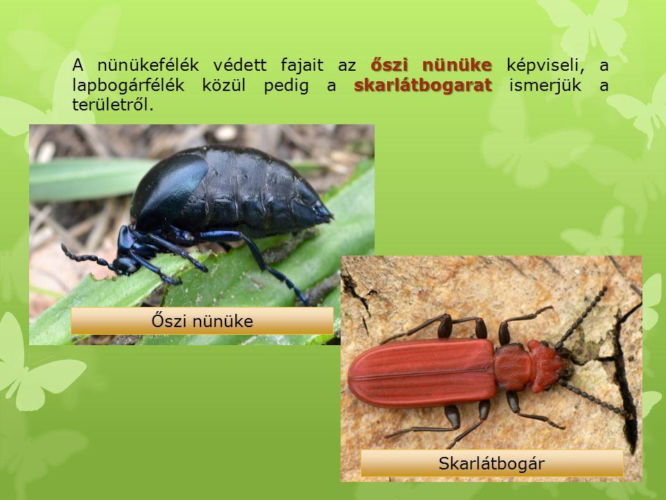 A nünükefélék védett fajait az őszi nünüke képviseli, a lapbogárfélék közül pedig a skarlátbogarat ismerjük a területről.