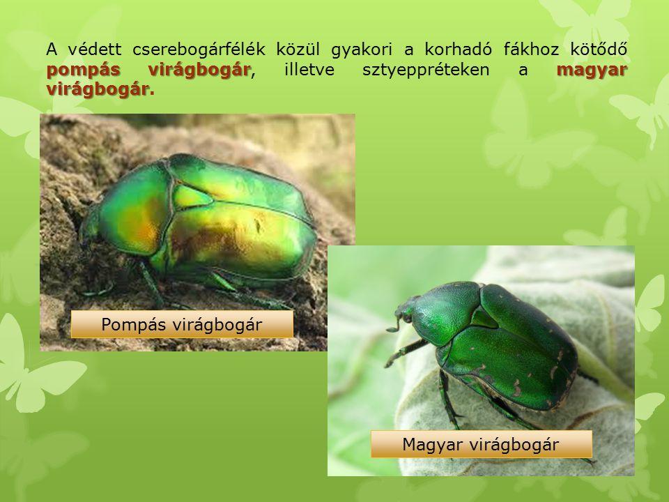 A védett cserebogárfélék közül gyakori a korhadó fákhoz kötődő pompás virágbogár, illetve sztyeppréteken a magyar virágbogár.