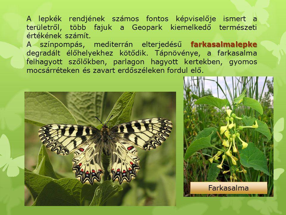 A lepkék rendjének számos fontos képviselője ismert a területről, több fajuk a Geopark kiemelkedő természeti értékének számít.