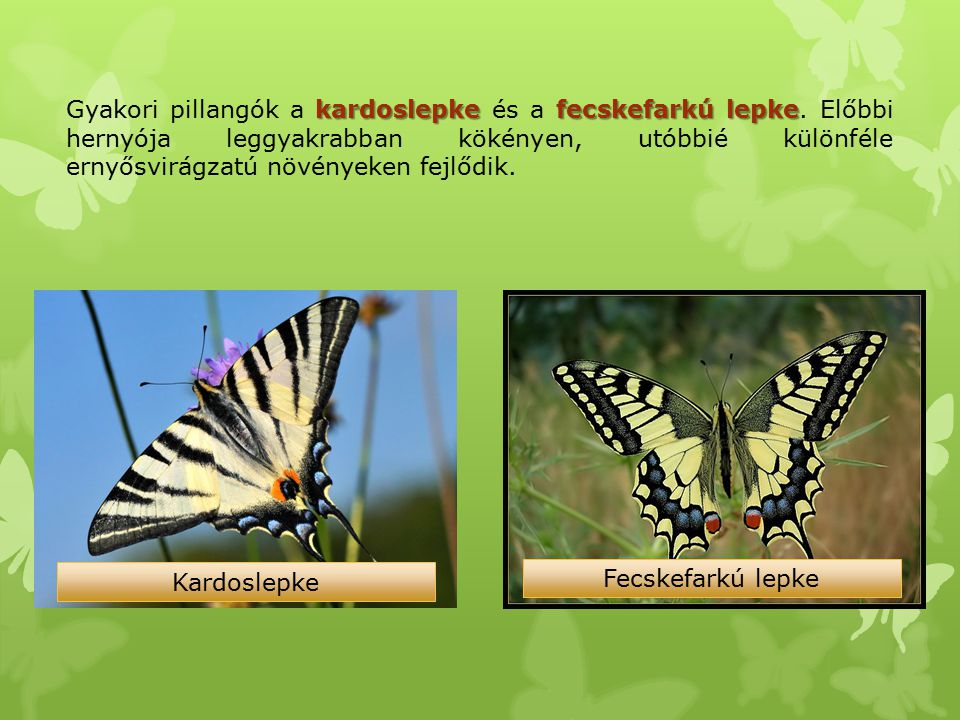 Gyakori pillangók a kardoslepke és a fecskefarkú lepke