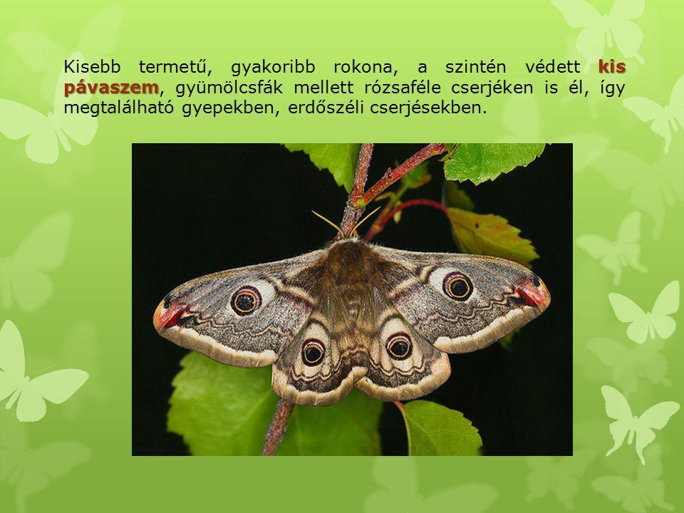 Kisebb termetű, gyakoribb rokona, a szintén védett kis pávaszem, gyümölcsfák mellett rózsaféle cserjéken is él, így megtalálható gyepekben, erdőszéli cserjésekben.