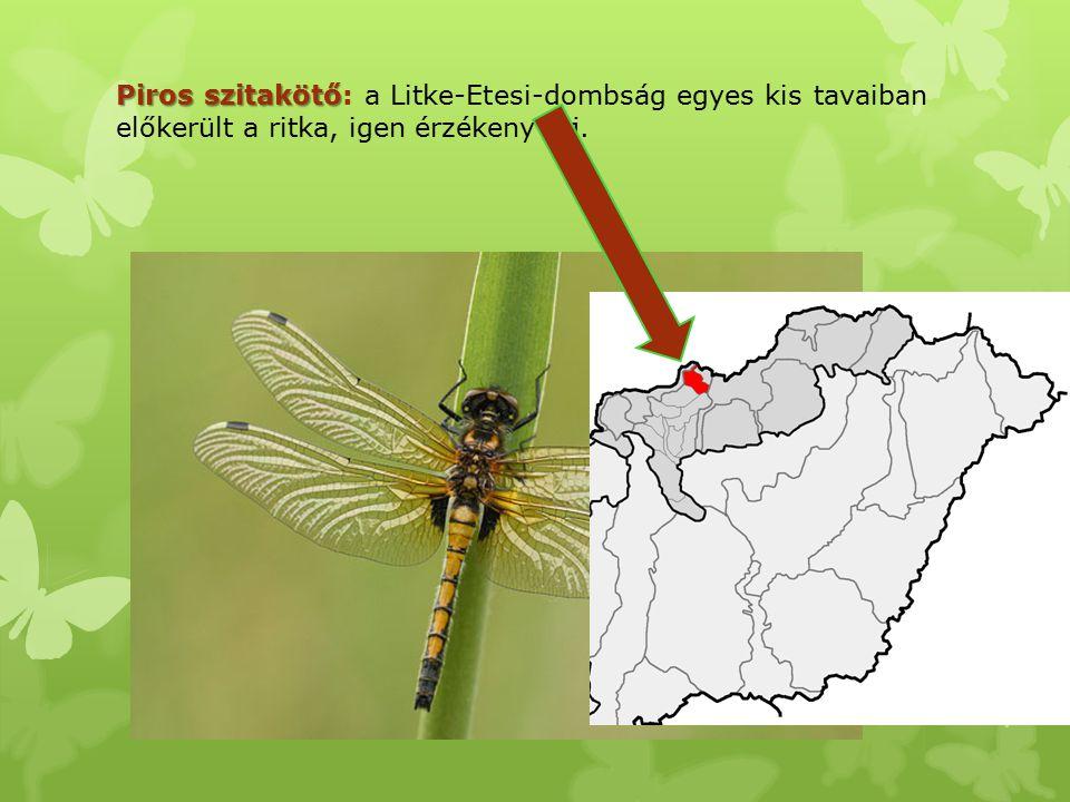 Piros szitakötő: a Litke-Etesi-dombság egyes kis tavaiban előkerült a ritka, igen érzékeny faj.