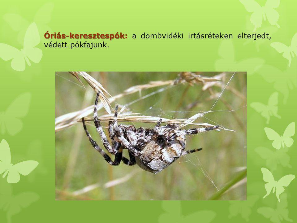 Óriás-keresztespók: a dombvidéki irtásréteken elterjedt, védett pókfajunk.