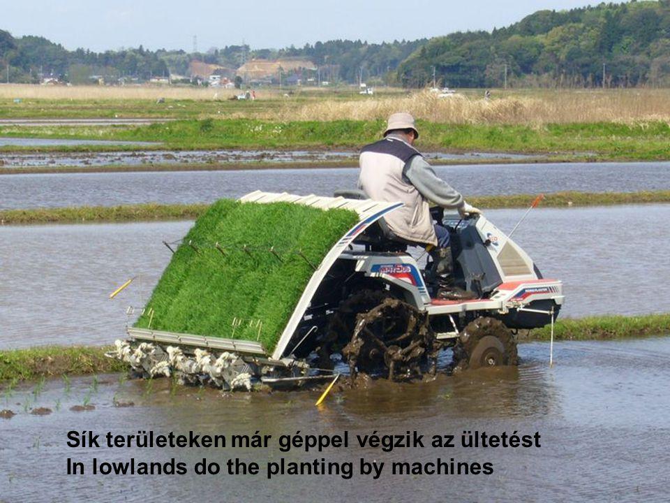 Sík területeken már géppel végzik az ültetést
