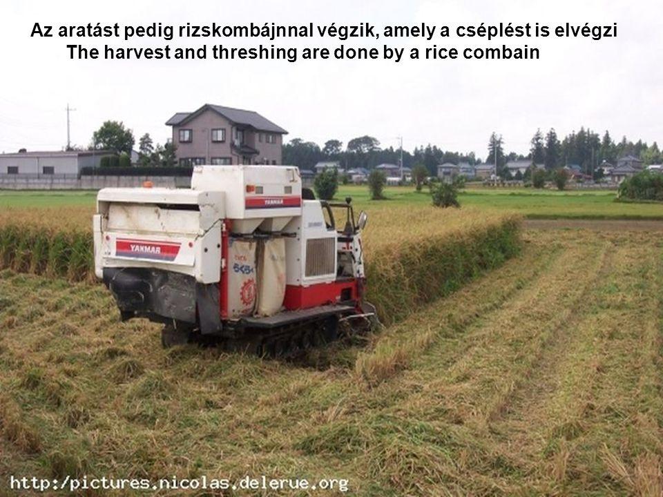 Az aratást pedig rizskombájnnal végzik, amely a cséplést is elvégzi