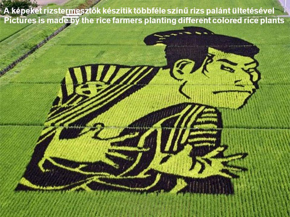 A képeket rizstermesztők készítik többféle színű rizs palánt ültetésével