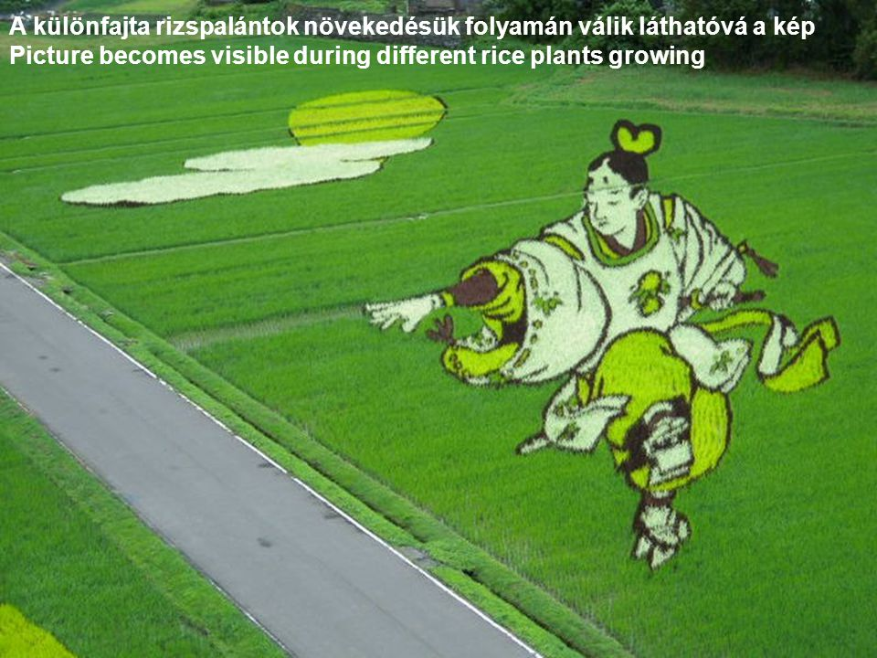 A különfajta rizspalántok növekedésük folyamán válik láthatóvá a kép
