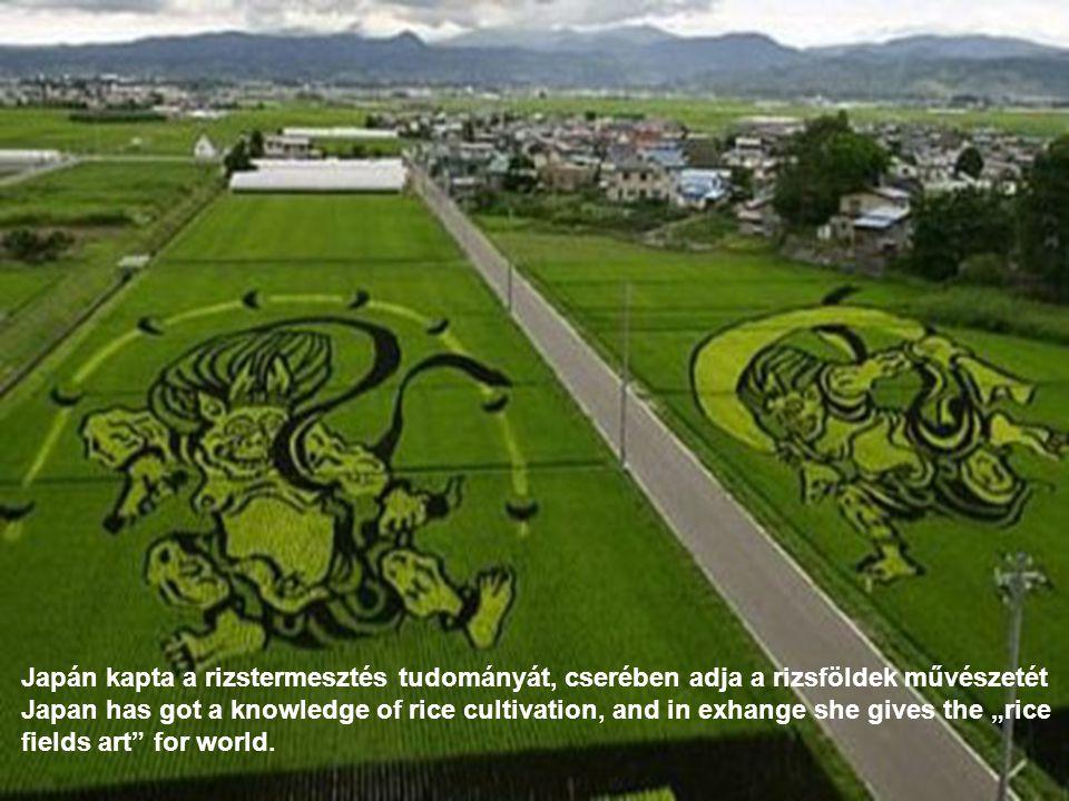 Japán kapta a rizstermesztés tudományát, cserében adja a rizsföldek művészetét