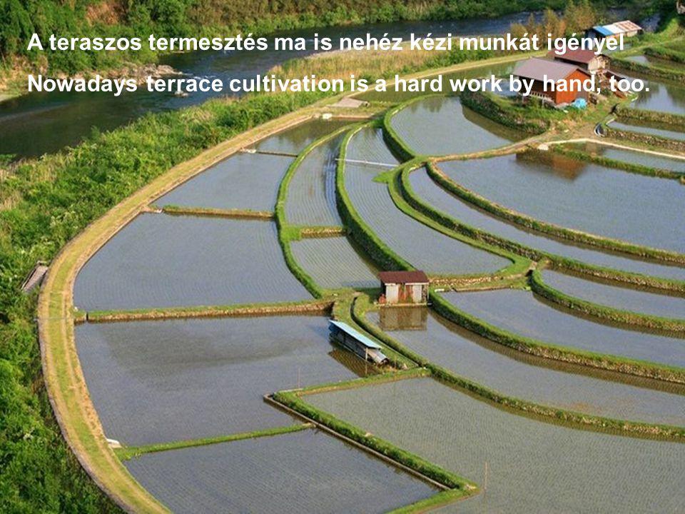 A teraszos termesztés ma is nehéz kézi munkát igényel