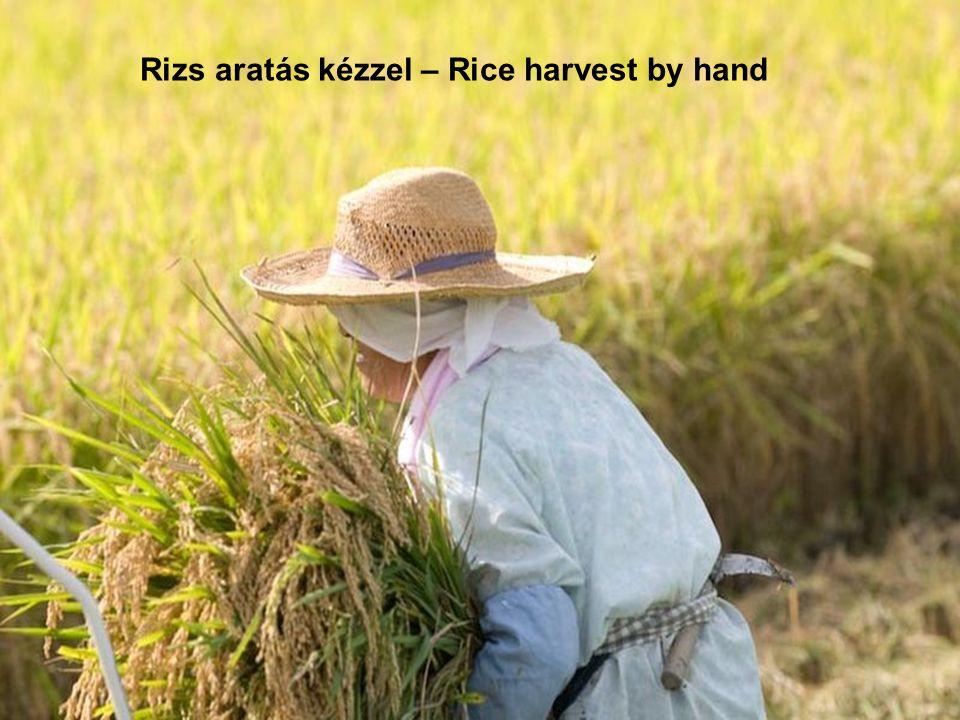 Rizs aratás kézzel – Rice harvest by hand