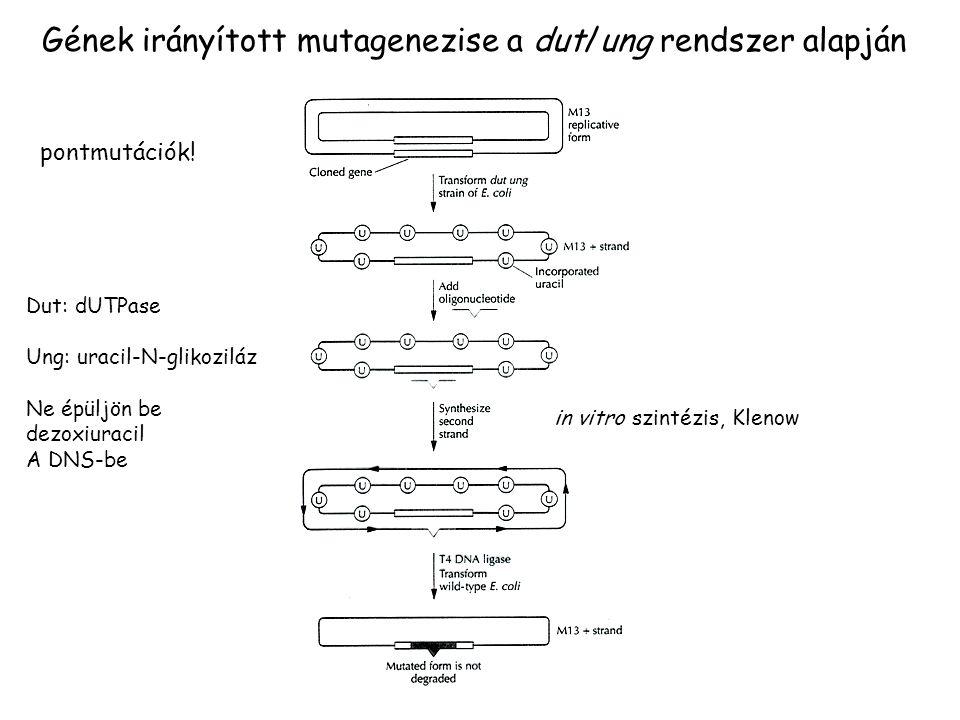 Gének irányított mutagenezise a dut/ung rendszer alapján
