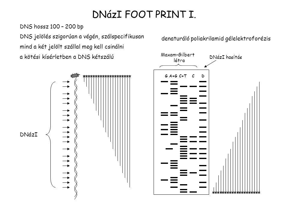 DNázI FOOT PRINT I. DNS hossz 100 – 200 bp