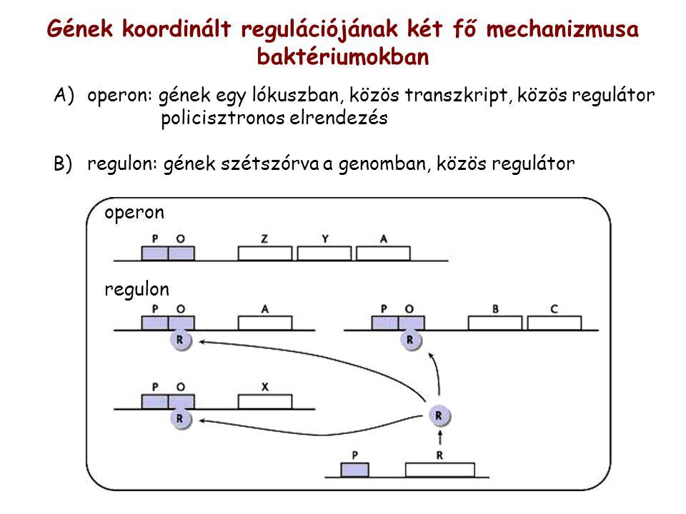 Gének koordinált regulációjának két fő mechanizmusa baktériumokban