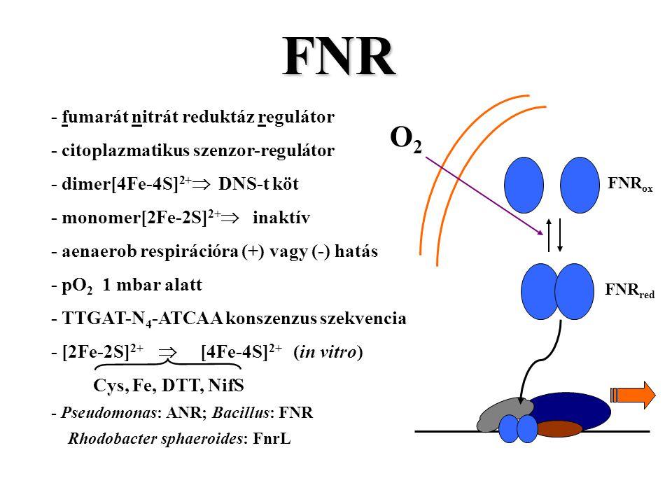 FNR O2 - fumarát nitrát reduktáz regulátor