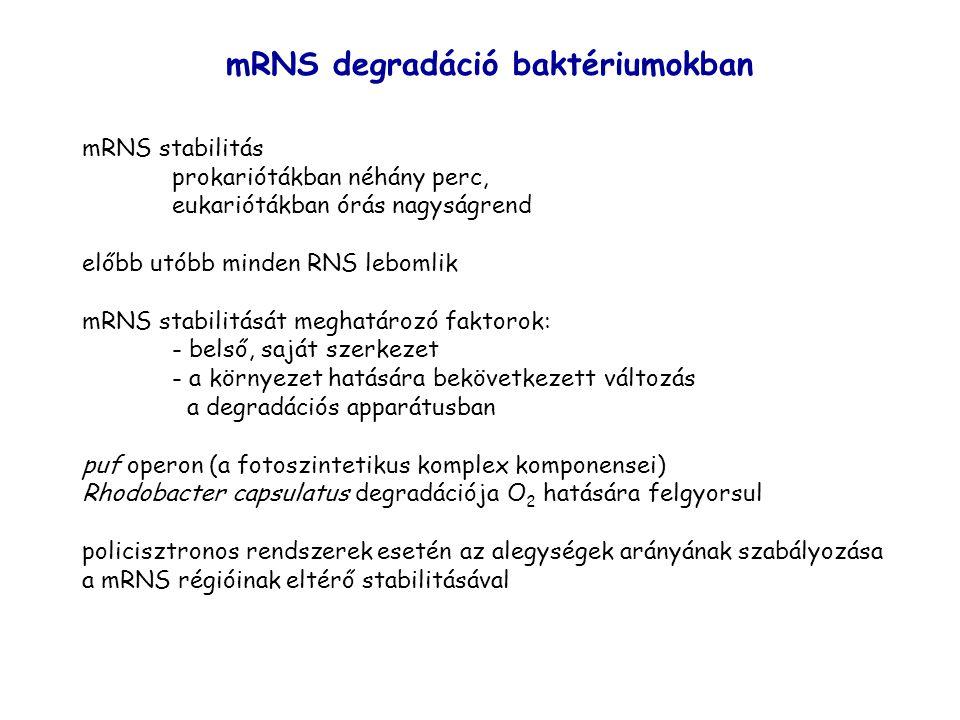 mRNS degradáció baktériumokban