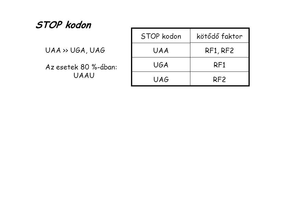 STOP kodon STOP kodon UAA UGA UAG kötődő faktor RF1, RF2 RF1 RF2