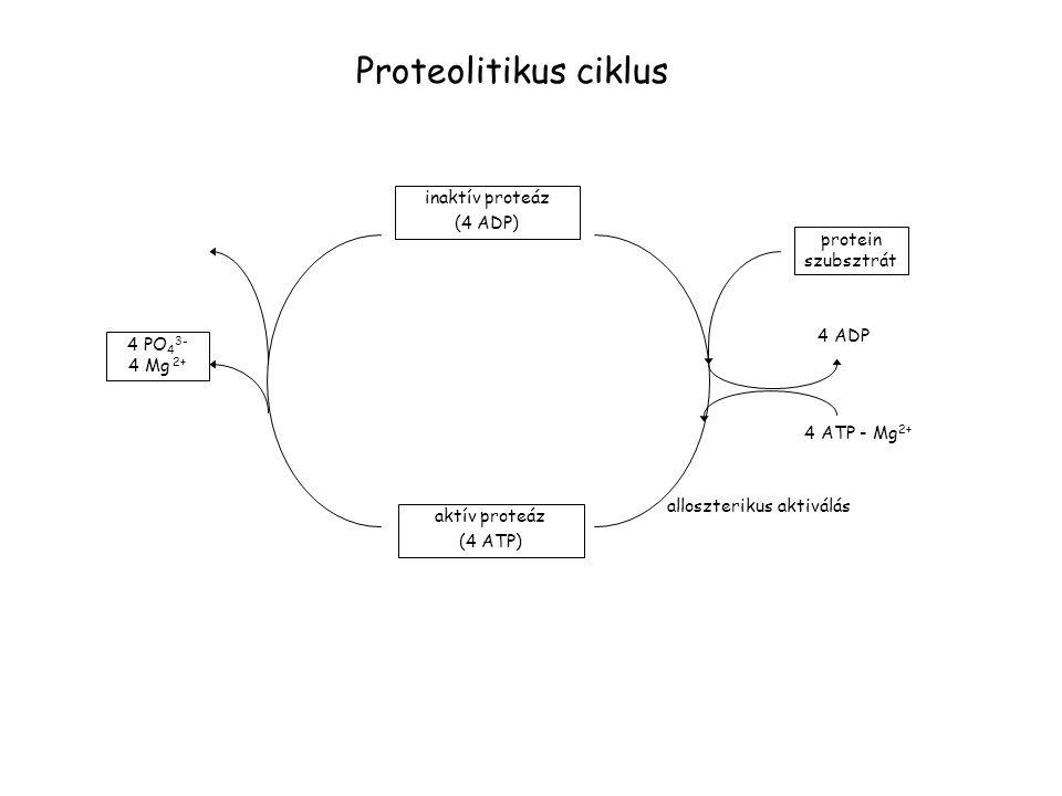 Proteolitikus ciklus inaktív proteáz (4 ADP) protein szubsztrát 4 ADP