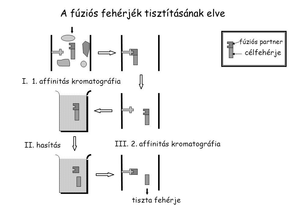 A fúziós fehérjék tisztításának elve