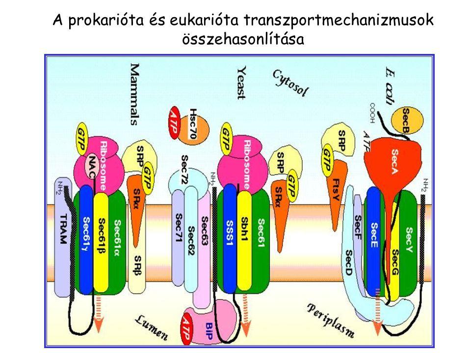 A prokarióta és eukarióta transzportmechanizmusok összehasonlítása
