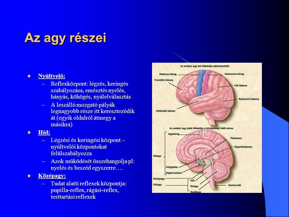 Az agy részei Nyúltvelő: