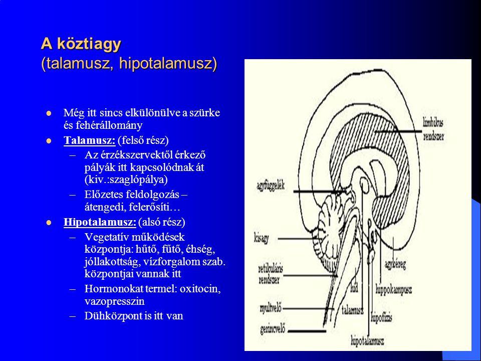 A köztiagy (talamusz, hipotalamusz)