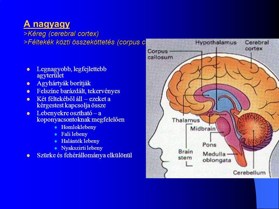 A nagyagy >Kéreg (cerebral cortex) >Féltekék közti összeköttetés (corpus callosum)