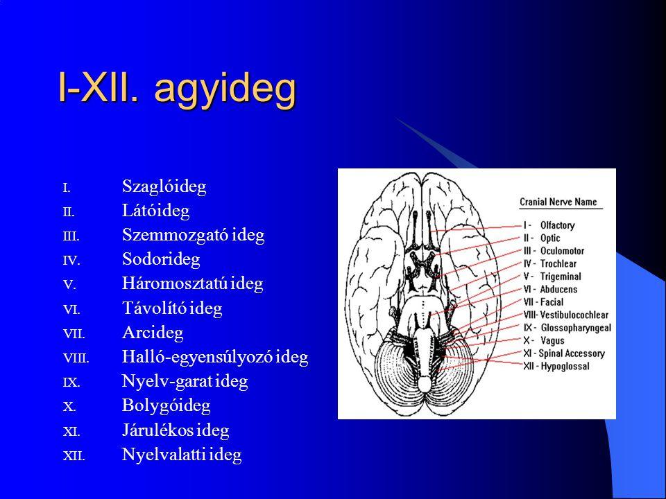 I-XII. agyideg Szaglóideg Látóideg Szemmozgató ideg Sodorideg