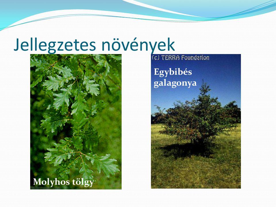 Jellegzetes növények Egybibés galagonya Molyhos tölgy
