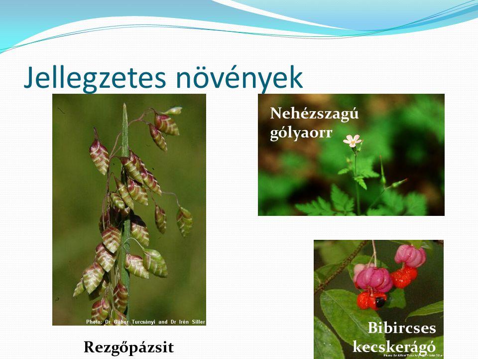 Jellegzetes növények Nehézszagú gólyaorr Bibircses kecskerágó