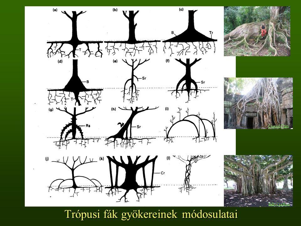 Trópusi fák gyökereinek módosulatai