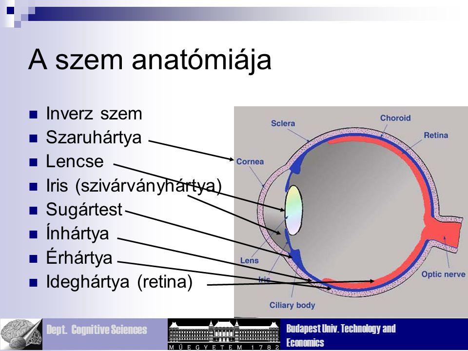 A szem anatómiája Inverz szem Szaruhártya Lencse