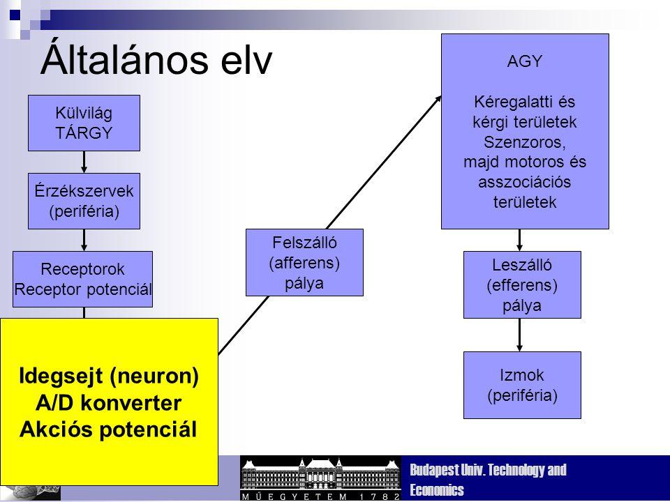 Általános elv Idegsejt (neuron) Idegsejt (neuron) A/D konverter