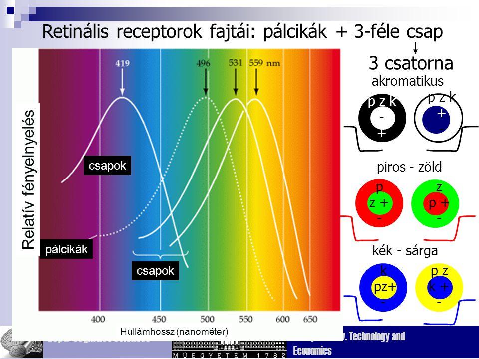 Retinális receptorok fajtái: pálcikák + 3-féle csap