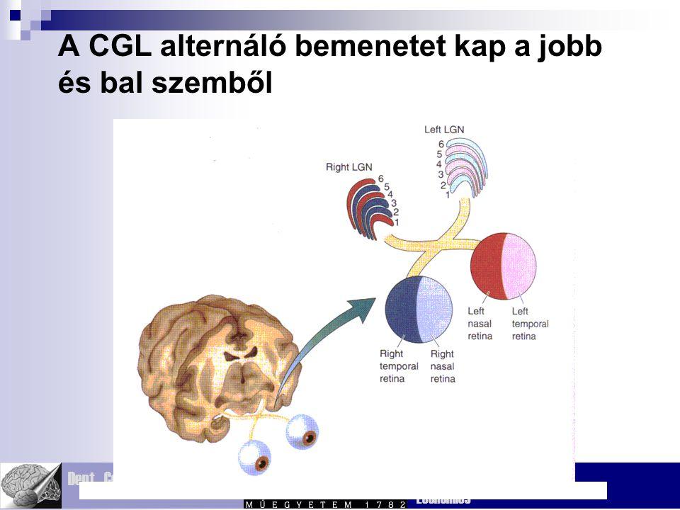 A CGL alternáló bemenetet kap a jobb és bal szemből