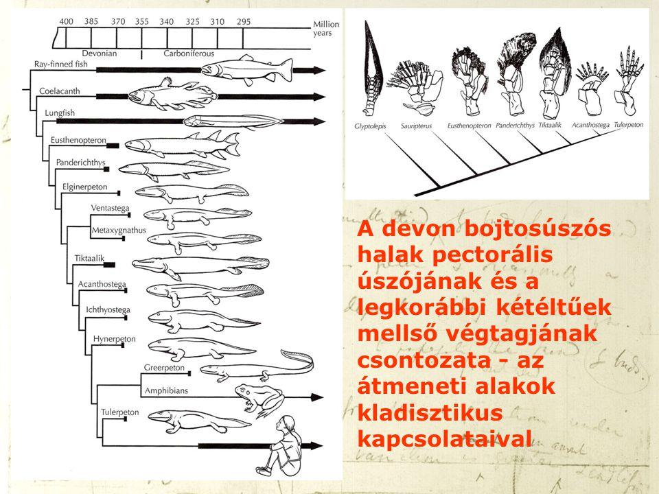 A devon bojtosúszós halak pectorális úszójának és a legkorábbi kétéltűek mellső végtagjának csontozata - az átmeneti alakok kladisztikus kapcsolataival