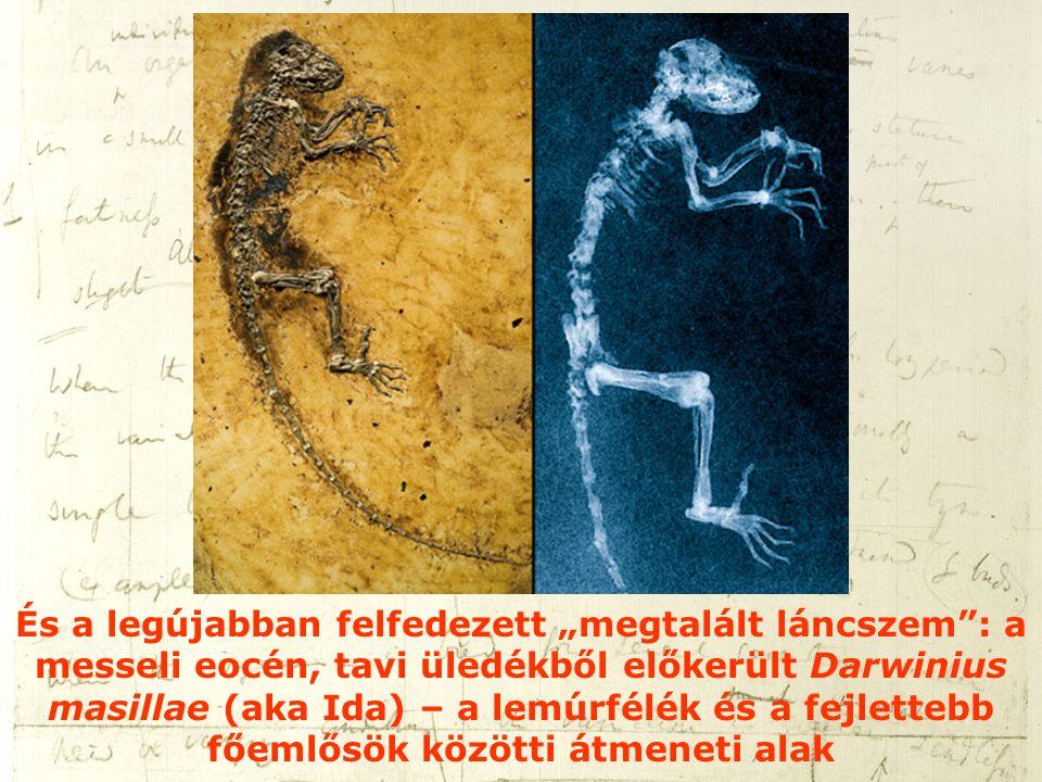 """És a legújabban felfedezett """"megtalált láncszem : a messeli eocén, tavi üledékből előkerült Darwinius masillae (aka Ida) – a lemúrfélék és a fejlettebb főemlősök közötti átmeneti alak"""