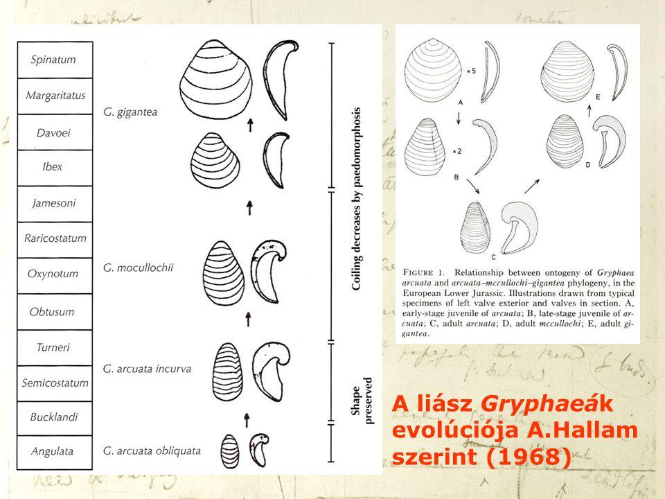A liász Gryphaeák evolúciója A.Hallam szerint (1968)