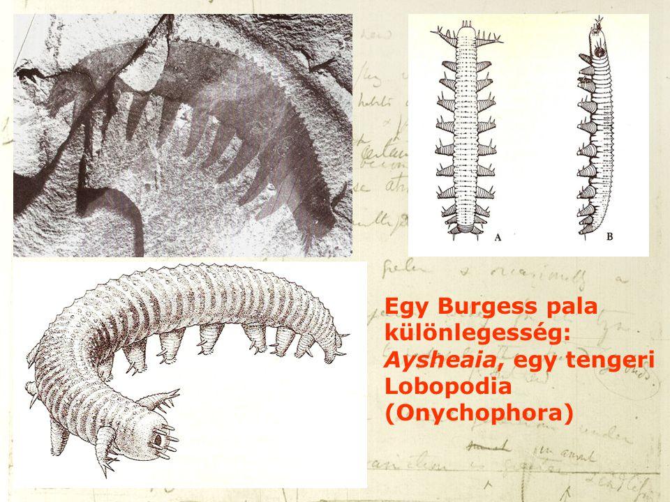 Egy Burgess pala különlegesség: Aysheaia, egy tengeri Lobopodia (Onychophora)
