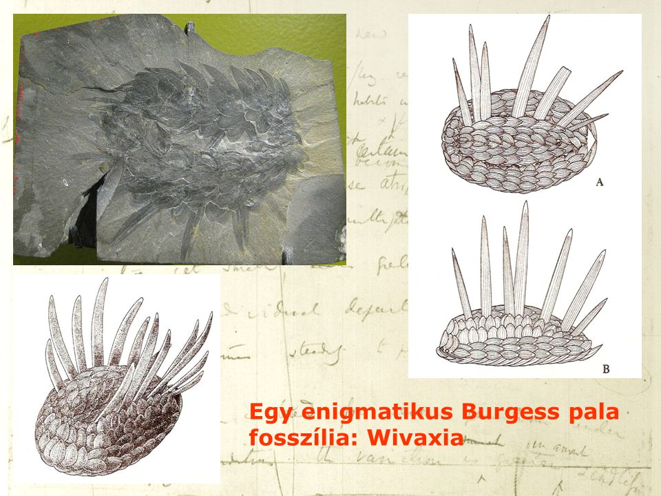 Egy enigmatikus Burgess pala fosszília: Wivaxia