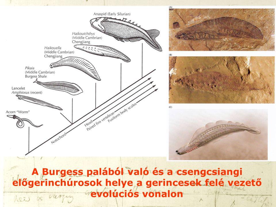 A Burgess palából való és a csengcsiangi előgerinchúrosok helye a gerincesek felé vezető evolúciós vonalon