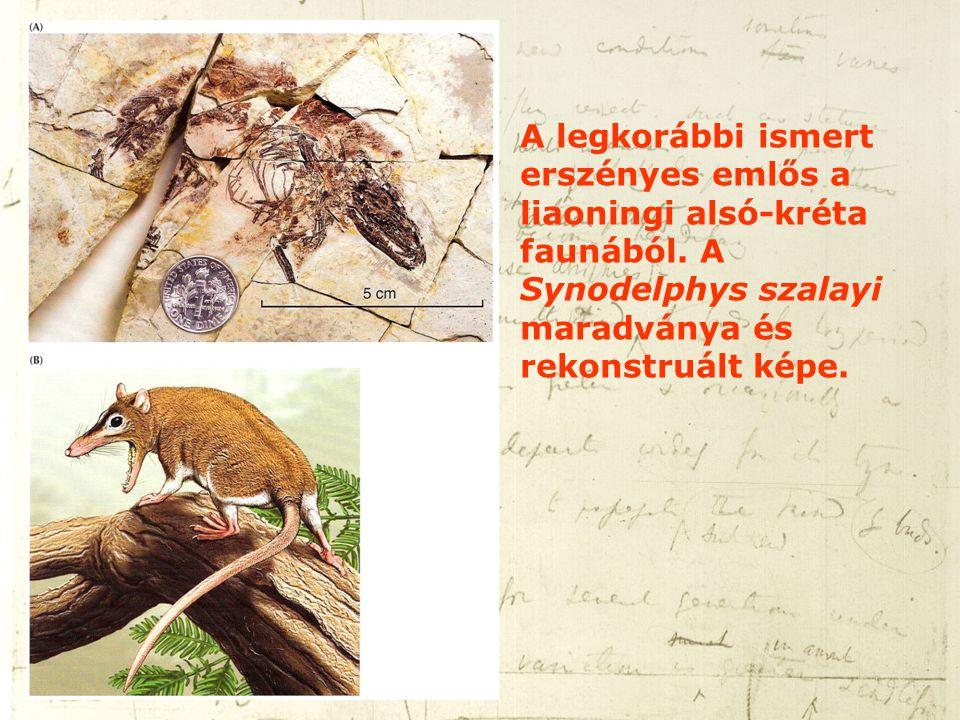 A legkorábbi ismert erszényes emlős a liaoningi alsó-kréta faunából