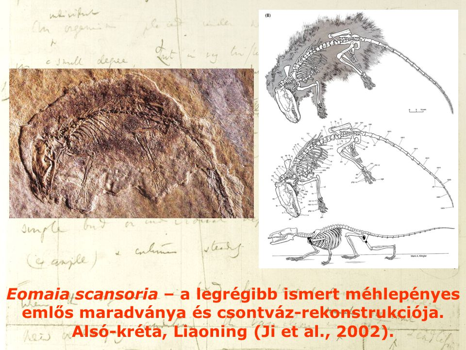 Eomaia scansoria – a legrégibb ismert méhlepényes emlős maradványa és csontváz-rekonstrukciója.