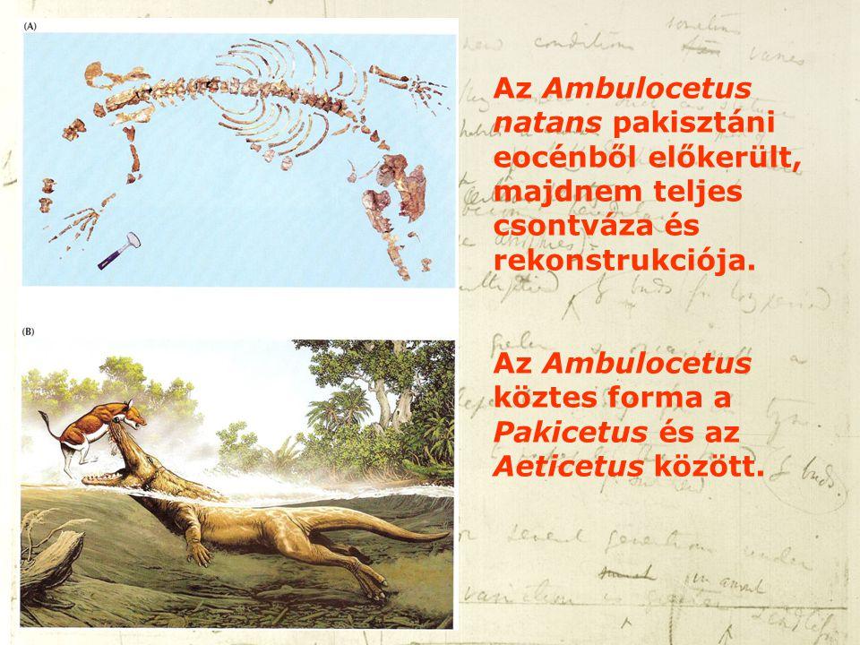 Az Ambulocetus natans pakisztáni eocénből előkerült, majdnem teljes csontváza és rekonstrukciója.
