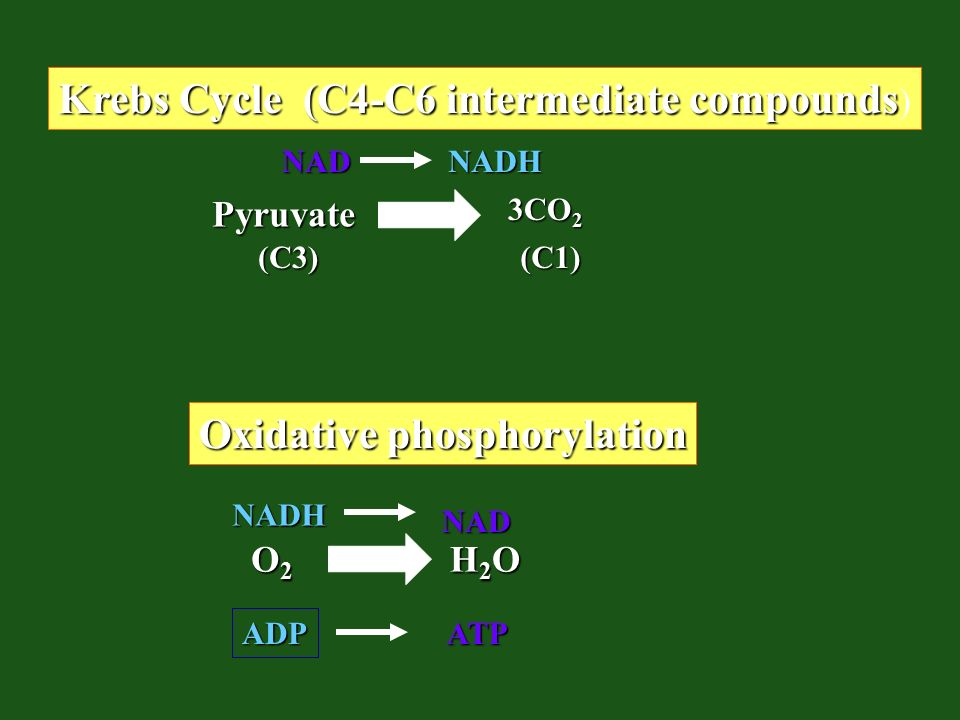 Krebs Cycle (C4-C6 intermediate compounds)