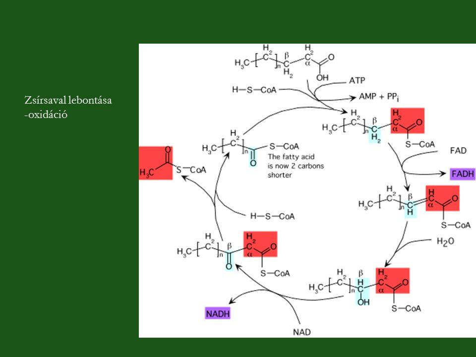 Zsírsaval lebontása -oxidáció