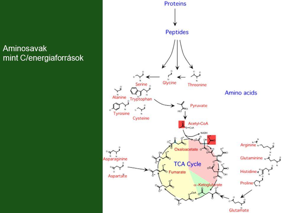 Aminosavak mint C/energiaforrások