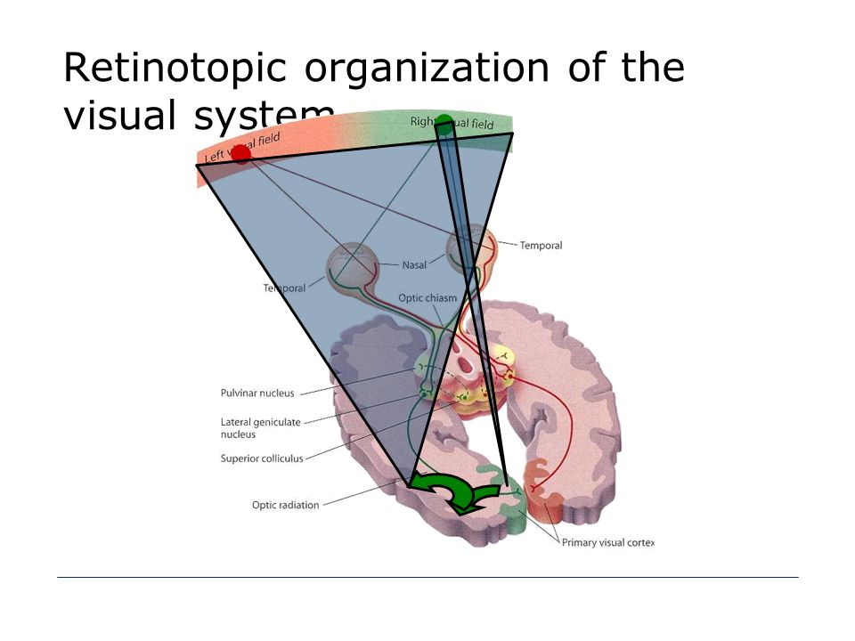 Retinotopic organization of the visual system
