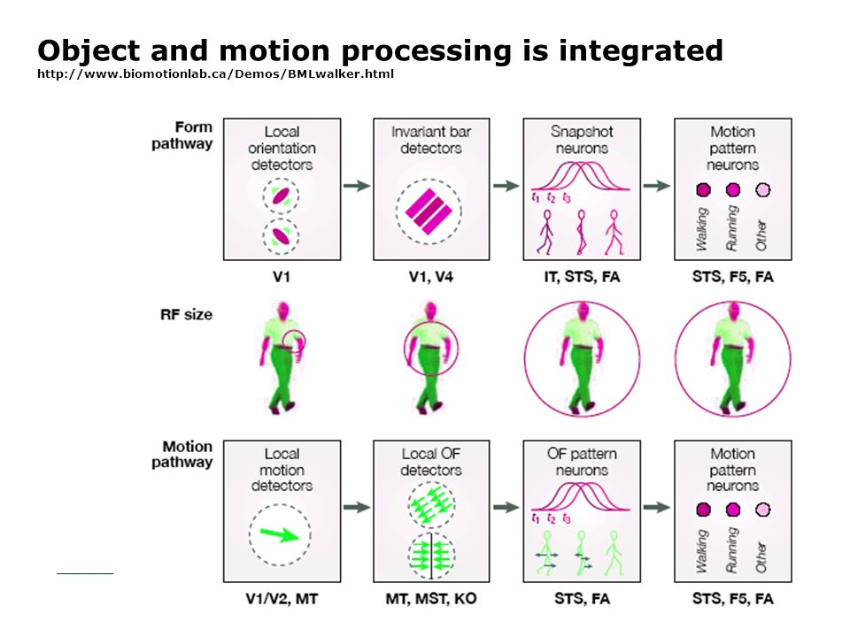 Object and motion processing is integrated