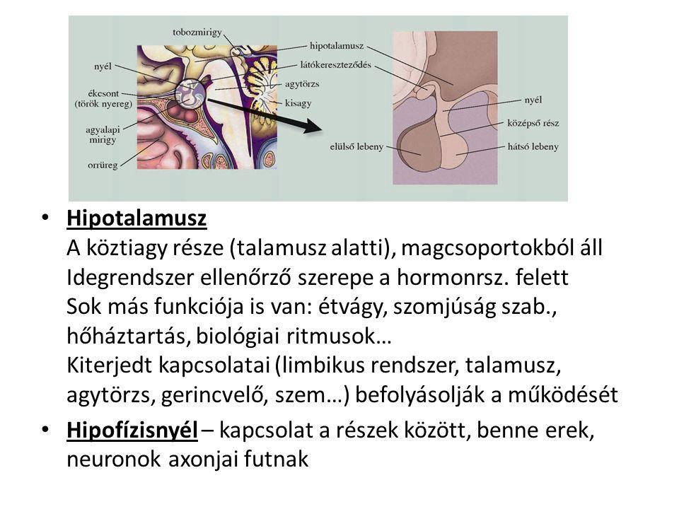 Hipotalamusz A köztiagy része (talamusz alatti), magcsoportokból áll Idegrendszer ellenőrző szerepe a hormonrsz. felett Sok más funkciója is van: étvágy, szomjúság szab., hőháztartás, biológiai ritmusok… Kiterjedt kapcsolatai (limbikus rendszer, talamusz, agytörzs, gerincvelő, szem…) befolyásolják a működését