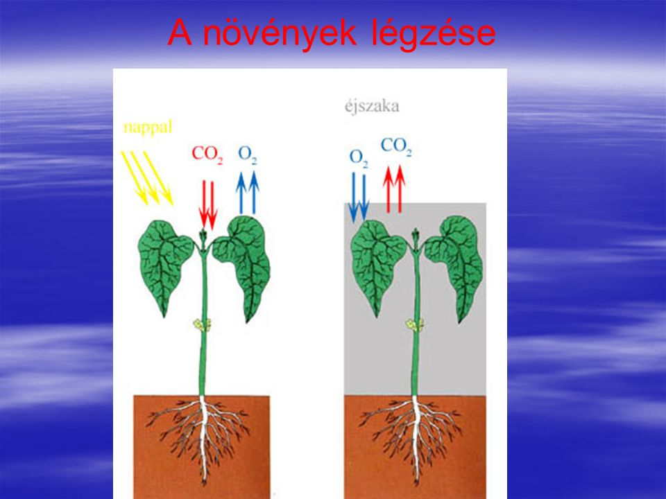 A növények légzése